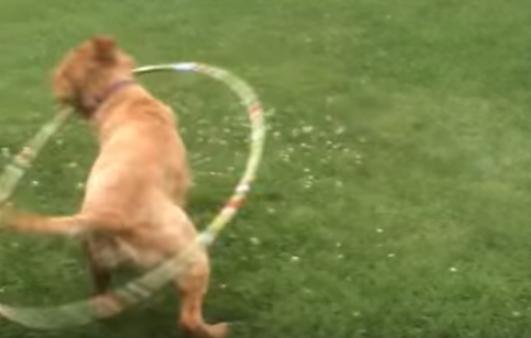 A Hula-Hooping Dog?